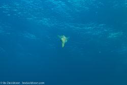 BD-151230-Malapasqua-1539-Sepioteuthis-lessoniana.-Férussac-[in-Lesson].-1831-[Bigfin-reef-squid].jpg